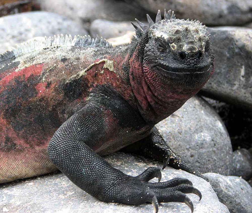 Freundlicher Iguana auf Espanola