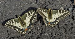 Freundschaft bei den Schwalbenschwänzen (Papilio machaon) - Le Machaon ou Grand porte-queue.