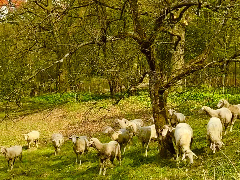 Friedlich grasende Schafe