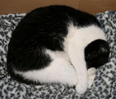 friedlich schlafende Samtpfote