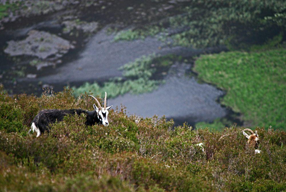 Friedliches Grasen in den Wicklow Mountains