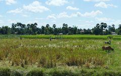 ...friedliches Leben auf den Feldern Cambodia`s...