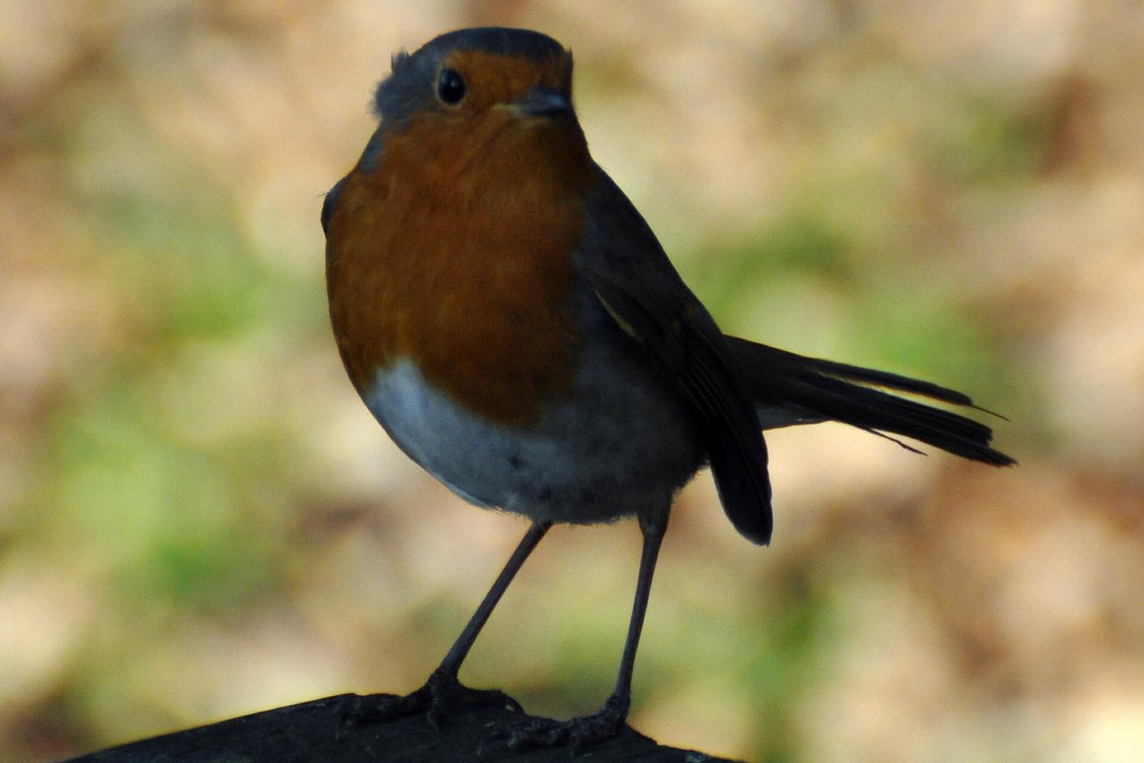 friendly robin