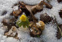Frierender Winterling mit verweistem Schneckenhaus im Schnee!