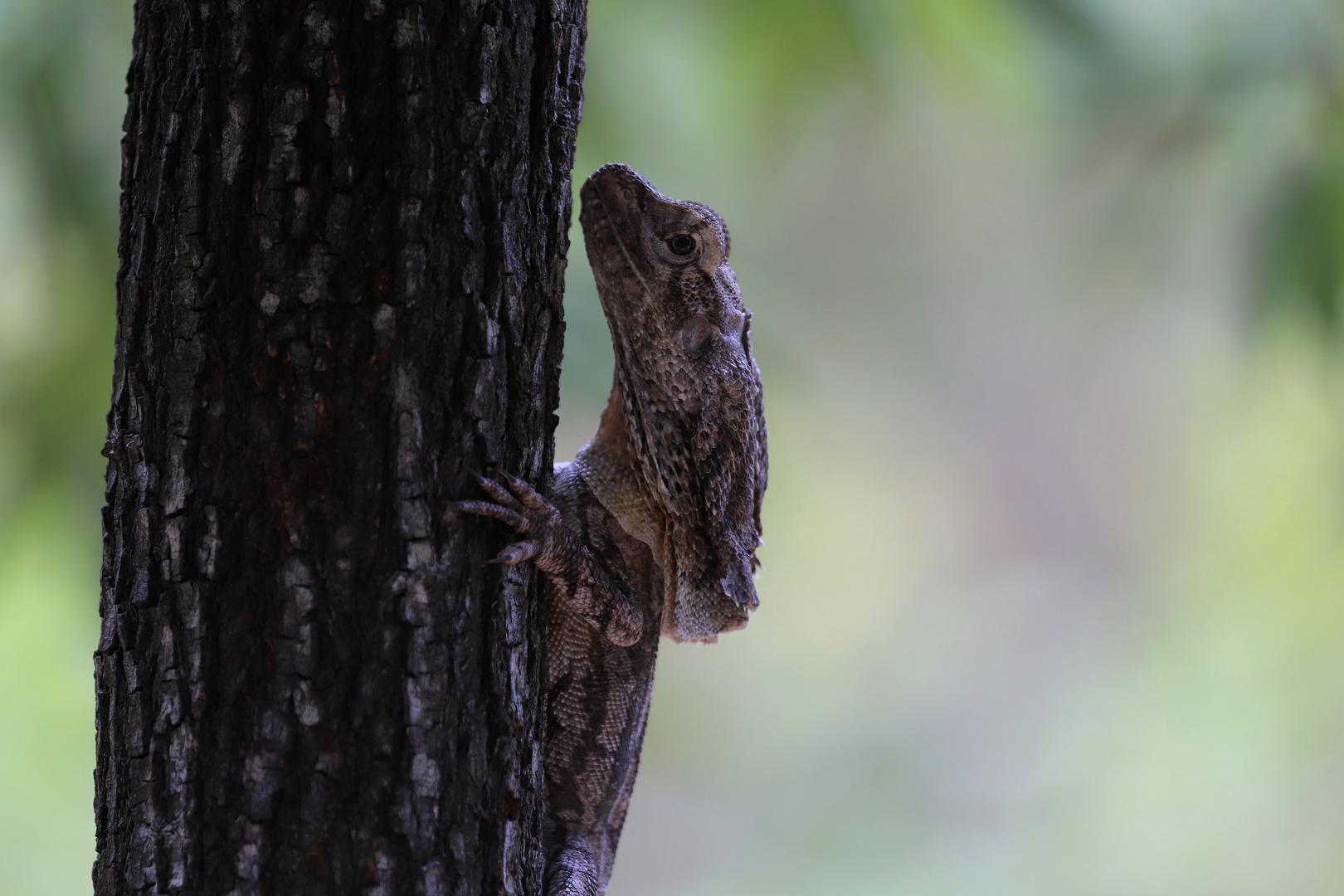 frillneck lizard