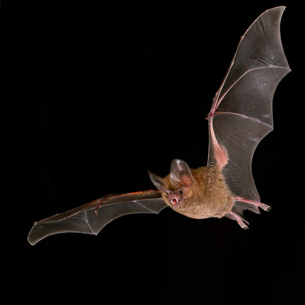 Fringe - lipped Bat ( Trachops cirrhosus ) Fransenlippenfledermaus