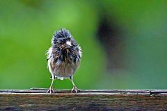 Fringilla coelebs - nach dem großem Regen