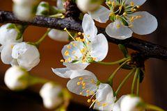 Frisch aus dem Garten - die ersten Pflaumenblüten sind geöffnet