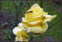 frisch erblühte gelbe Rose mit Insekt am 10.1.2018