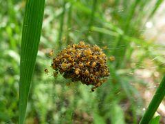 Frisch geschlüpfte Kreuzspinnen