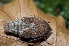 Frisch geschlüpfte Rundflügel-Kätzcheneule (Orthosia cerasi) - L'Orthosie du cerisier.