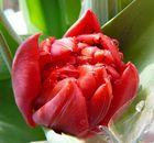 frisch geschlüpfte Tulpe