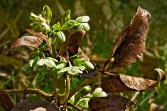 Frische Blüten mit verwelkten Blättern!