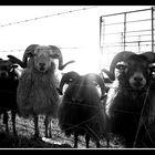 Frische Schafe?