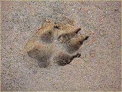 frische Spur eines Wolfes