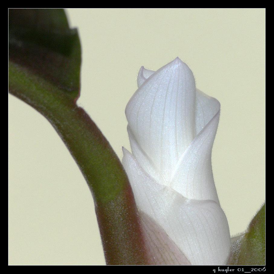 frische wei e bl te foto bild pflanzen pilze flechten zimmerpflanzen natur bilder auf. Black Bedroom Furniture Sets. Home Design Ideas