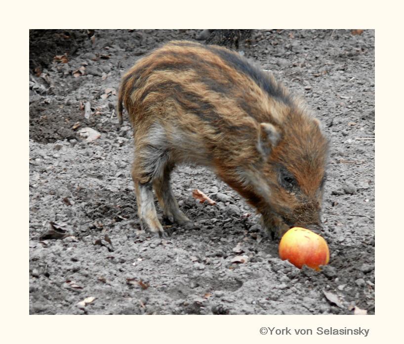 Frischer Apfel für den Frischling