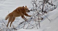 Frischer Schnee - auch für Hunde ein Vergnügen!