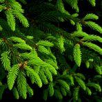 Frisches Fichtengrün