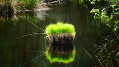 Frisches Grün im Moor