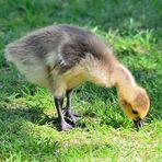 Frischling Kanadagans, Canada goose offspring, Barnacla canadiense bebe