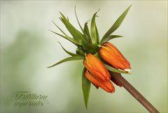 Fritillaria imperialis - Kaiserkrone...