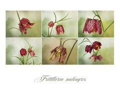 Fritillaria meleagris - Schachbrettblume....