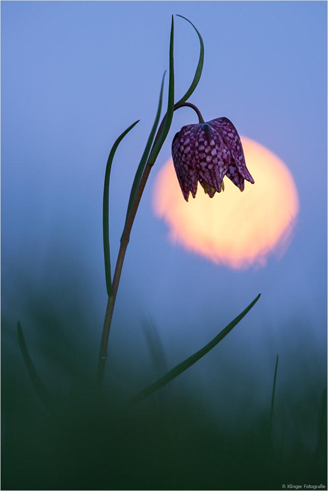 Fritillaria vor Vollmond
