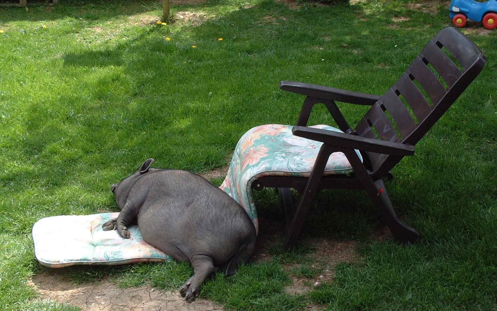 Fritz, das Entspannungsschwein