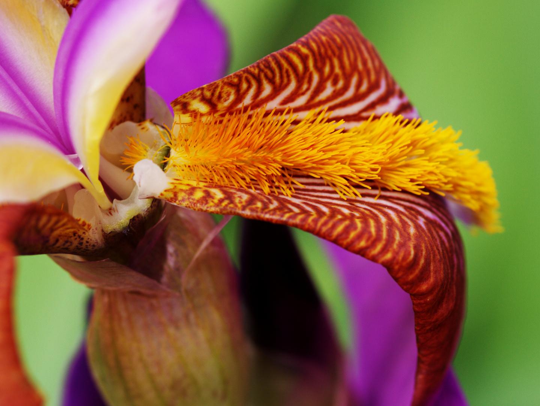 fröhliche Farben einer Schwertlilie