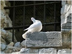 fröhliche Taube