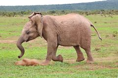 Fröhlicher junger Elefant rennt um her