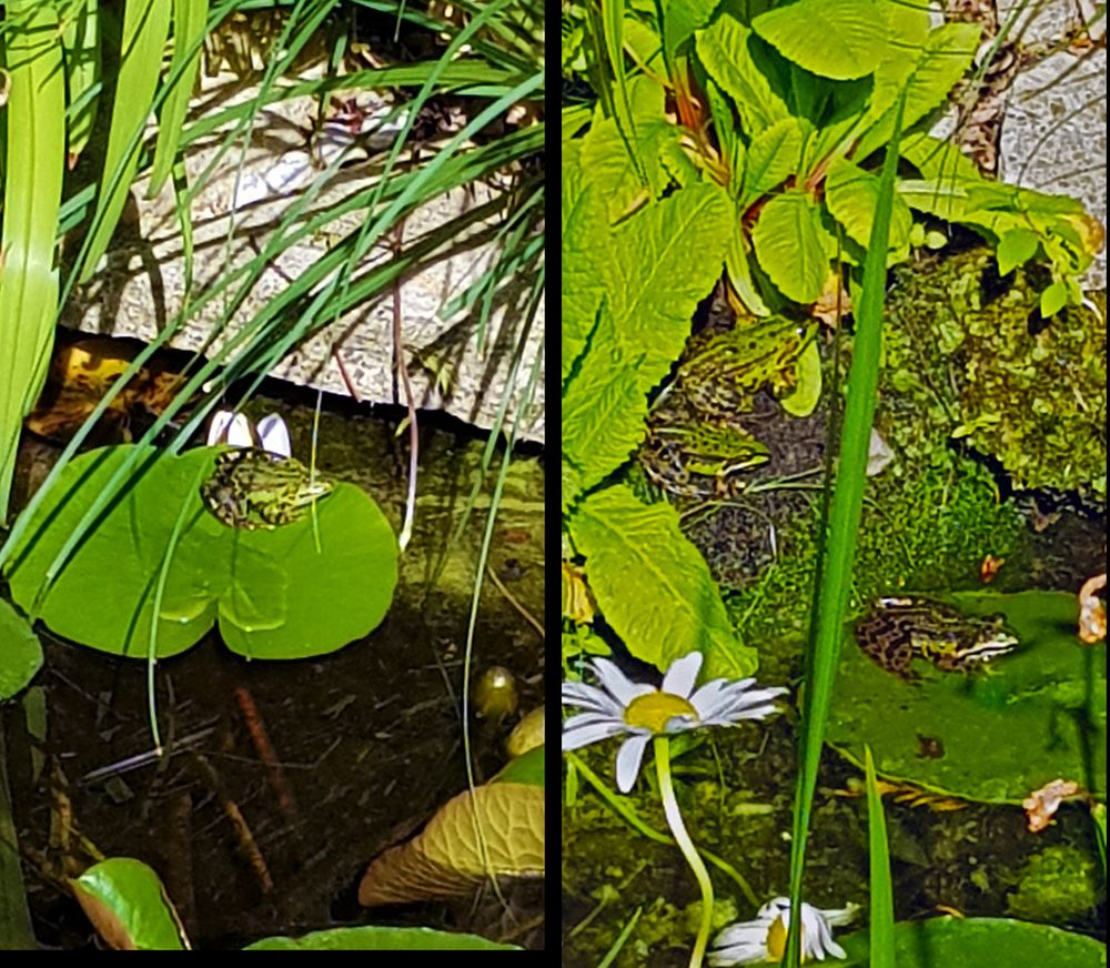 Frösche im Teich