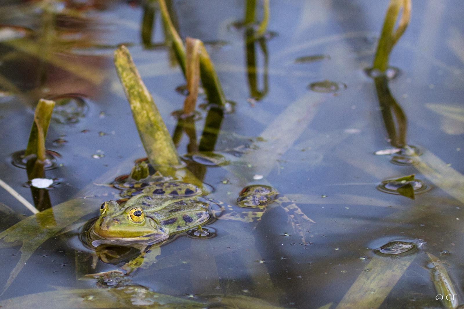 Frog #1