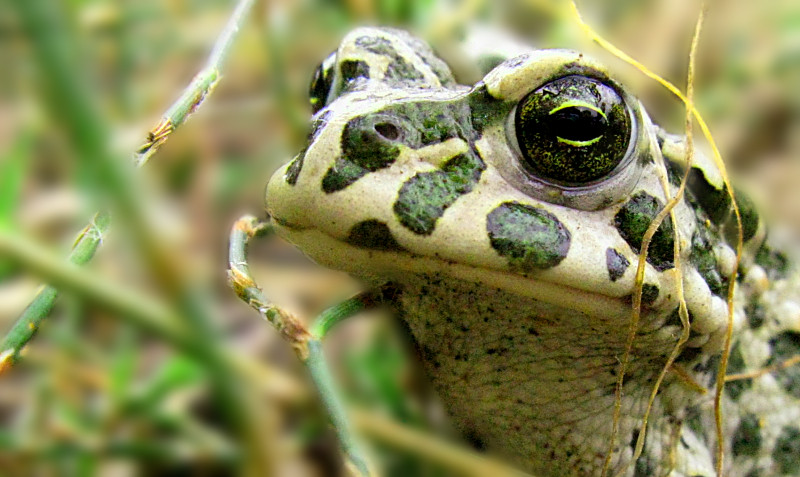 frog :)