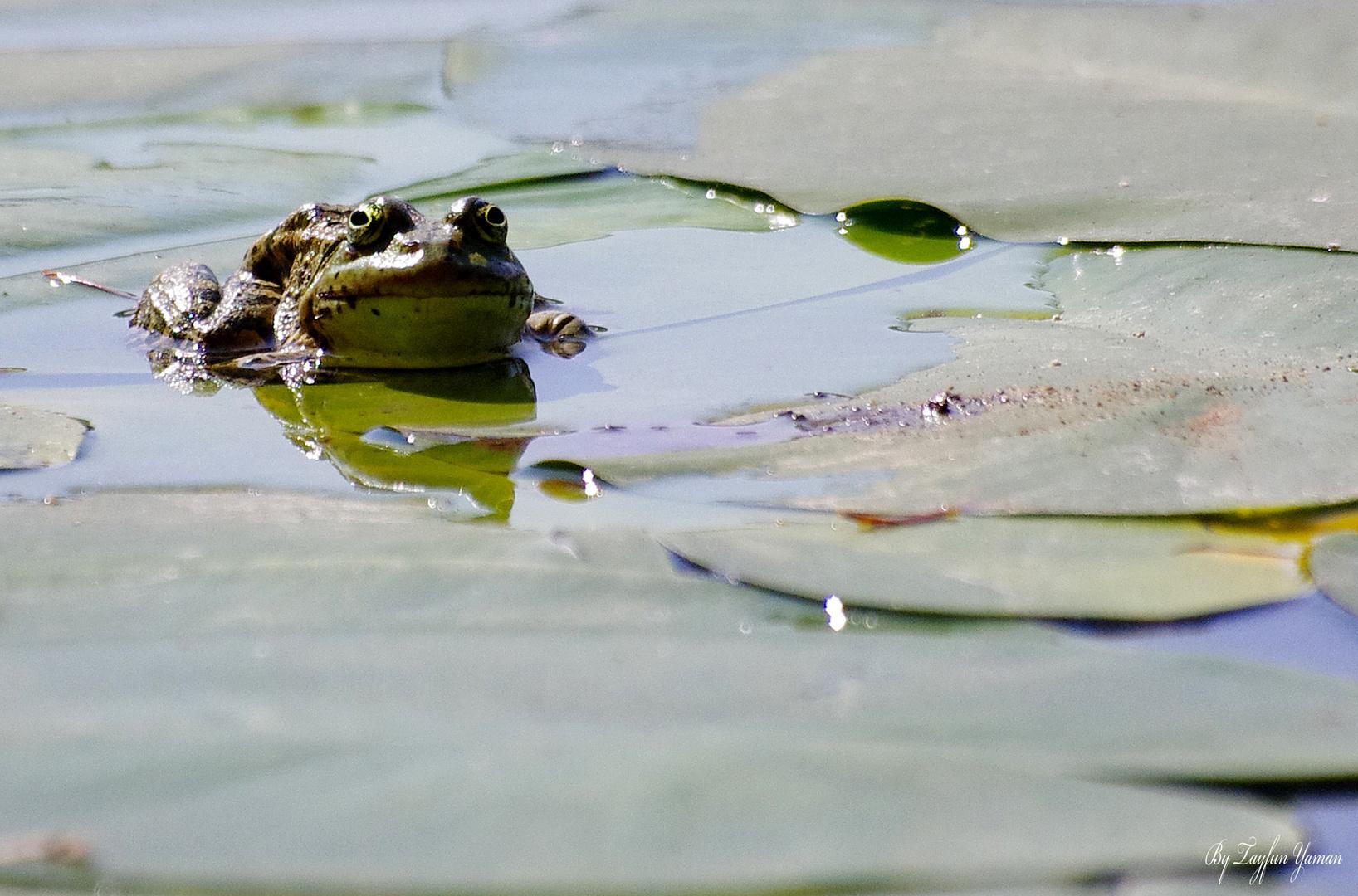 Frog in Golcuk Lake - Bolu