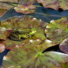 ... frog sitting on a leaf