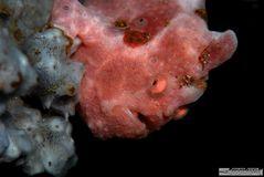 Frogfische sind einfach schööön...