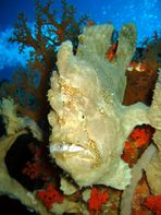 Frogfish (1)