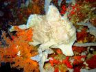 Frogfish (2)