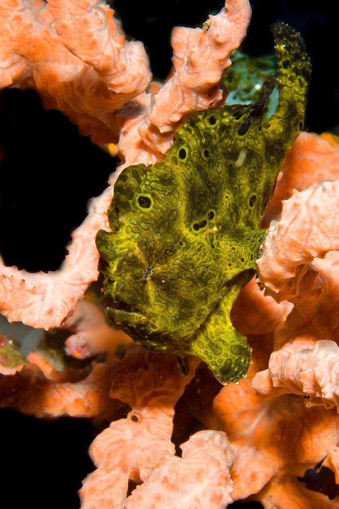 frogfish 4