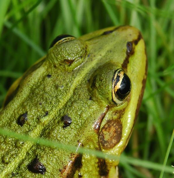 Froggy #2