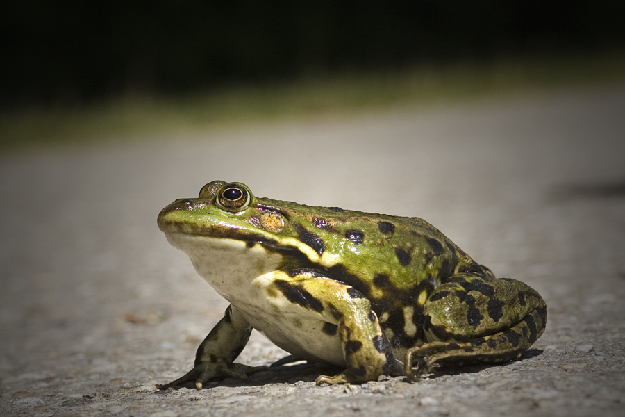 Froggy III