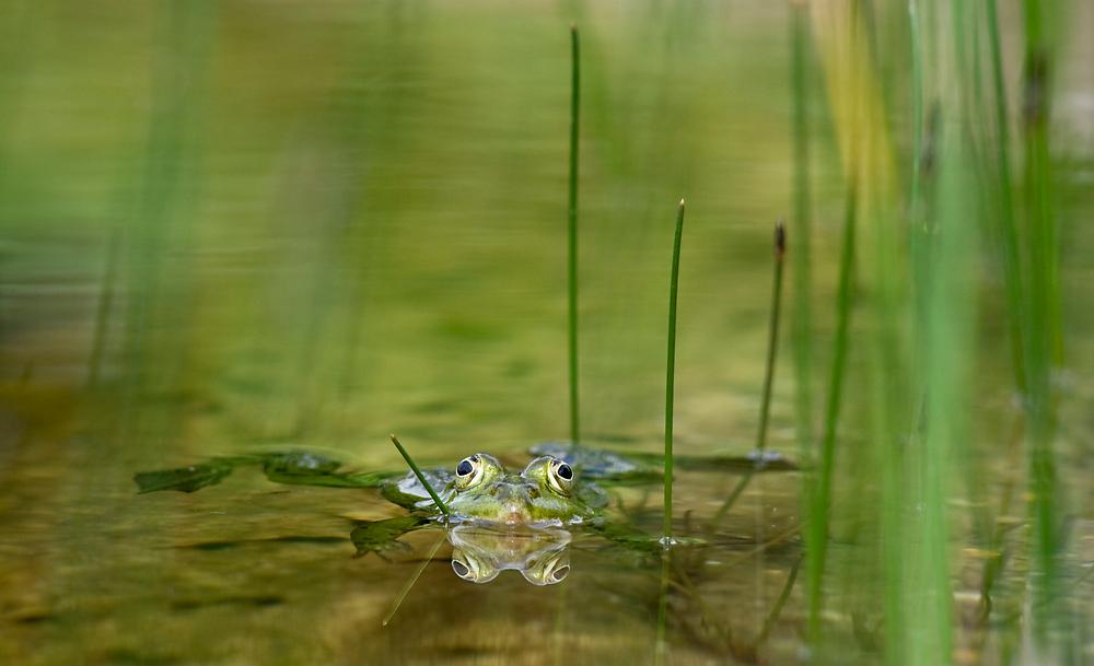frogreflection