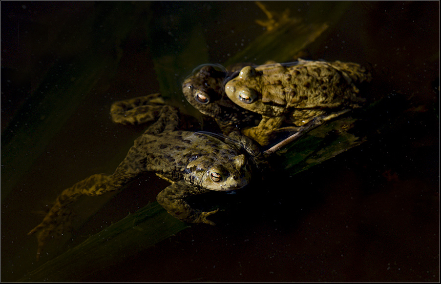 frogs affairs