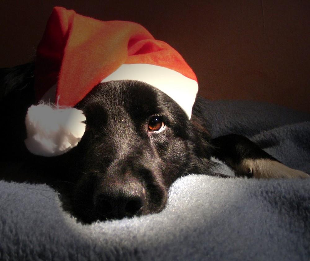 frohe weihnachten foto bild tiere haustiere hunde. Black Bedroom Furniture Sets. Home Design Ideas