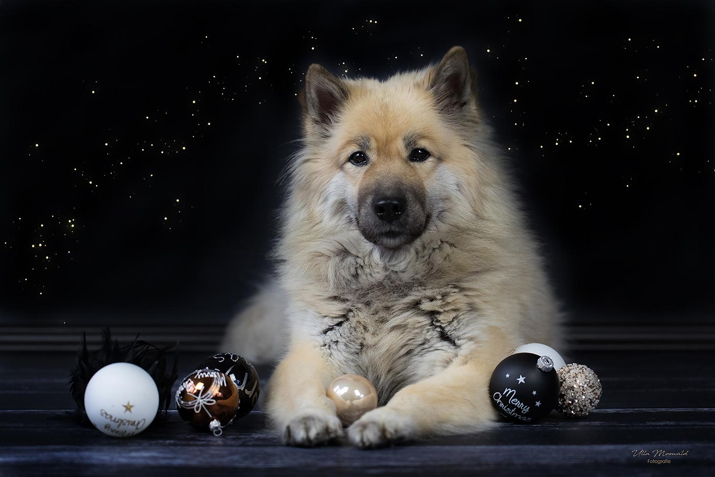 frohe weihnachten foto bild weihnachten hund. Black Bedroom Furniture Sets. Home Design Ideas