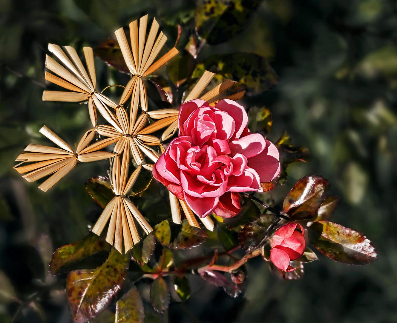 Frohe Weihnachten mit blühenden Rosen!