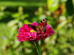 Frohnleitner Schmetterling