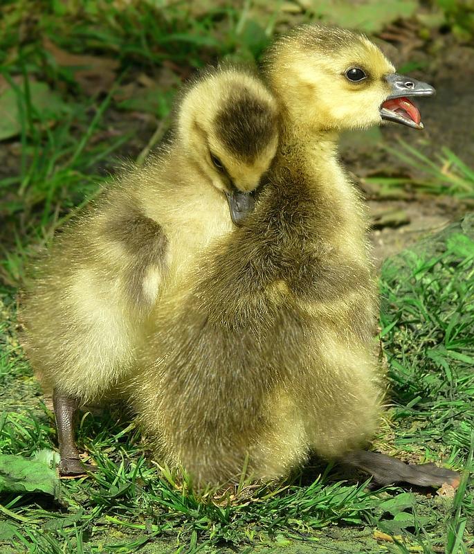 Frolicking goslings